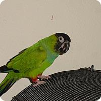 Adopt A Pet :: Tweedy Nandy Conure - Vancouver, WA