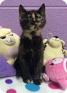 Domestic Shorthair Kitten for adoption in Richardson, Texas - Chicklet