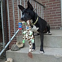 Adopt A Pet :: Radar - St. Charles, MO