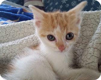 Domestic Mediumhair Kitten for adoption in Concord, Ohio - Jordan