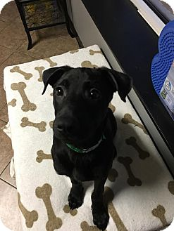 American Staffordshire Terrier/Shepherd (Unknown Type) Mix Puppy for adoption in Rochester Hills, Michigan - Sheba