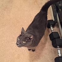 Domestic Shorthair Cat for adoption in Parker Ford, Pennsylvania - Smokey-URGENT!