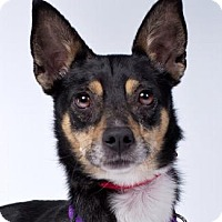 Smooth Fox Terrier/Rat Terrier Mix Dog for adoption in Pt. Richmond, California - CHARDIE