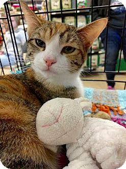 Calico Cat for adoption in Maryville, Tennessee - Spice