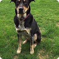 Adopt A Pet :: Callie - Manchester, NH