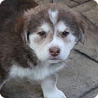 Adopt A Pet :: Maverick - La Habra Heights, CA