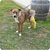 Adopt A Pet :: Mistletoe - See me on TV! - Sacramento, CA