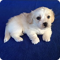 Adopt A Pet :: Rainy Puppy - Encino, CA