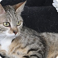 Domestic Shorthair Cat for adoption in Carneys Point, New Jersey - Clarissa