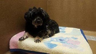 Miniature Schnauzer Mix Dog for adoption in Scottsdale, Arizona - Calie