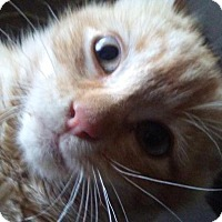 Adopt A Pet :: Ariel - Levelland, TX
