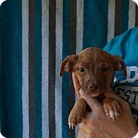 Adopt A Pet :: Amber - Oviedo, FL