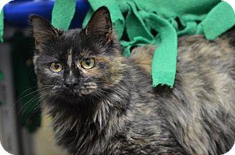 Domestic Longhair Cat for adoption in Atlanta, Georgia - Endora170409
