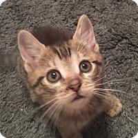 Adopt A Pet :: Pipsqueak - Mount Laurel, NJ