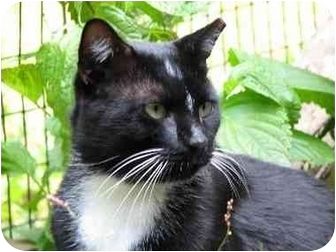 Domestic Shorthair Cat for adoption in Columbia, Maryland - Smitty