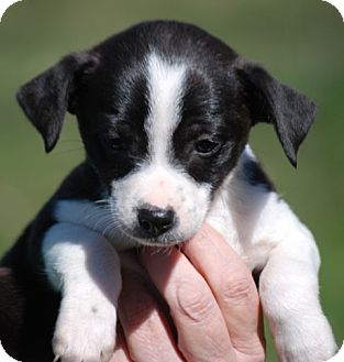Jack Russell Terrier/Chihuahua Mix Puppy for adoption in Providence, Rhode Island - Oreo