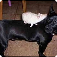 Adopt A Pet :: Punky - Rigaud, QC