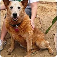 Adopt A Pet :: Tracey **ADOPTION PENDING** - Phoenix, AZ