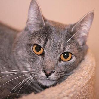 Domestic Shorthair Cat for adoption in Raleigh, North Carolina - Garrett H