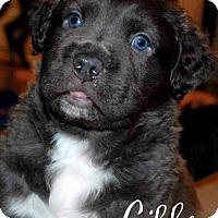 Adopt A Pet :: Gibbs - Cary, IL