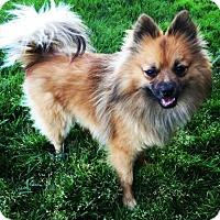 Adopt A Pet :: Foxter - Santa Cruz, CA