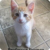 Adopt A Pet :: Professor Pounce - Bentonville, AR