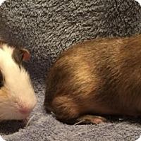 Adopt A Pet :: Paulie - Steger, IL