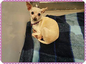 Chihuahua Dog for adoption in Loveland, Colorado - Midge