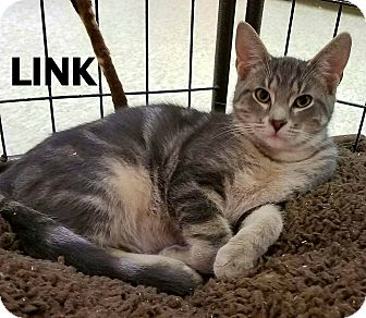 Domestic Shorthair Cat for adoption in Lapeer, Michigan - Link
