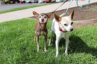 Chihuahua/Italian Greyhound Mix Dog for adoption in Logan, Utah - Isa