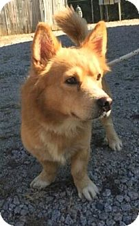 Corgi Mix Dog for adoption in Sagaponack, New York - Grant