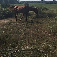 Quarterhorse Mix for adoption in Clarkson, Kentucky - Shady Grady