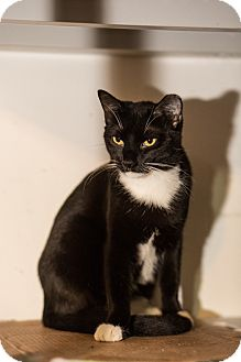 American Shorthair Cat for adoption in Brooklyn, New York - May