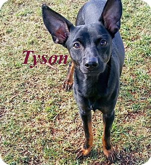 Manchester Terrier/Chihuahua Mix Dog for adoption in El Cajon, California - Tyson
