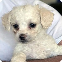 Adopt A Pet :: Dolly - Pacific Grove, CA