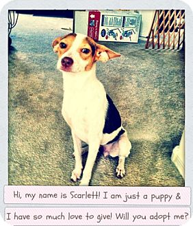 Chihuahua/Jack Russell Terrier Mix Dog for adoption in Mesa, Arizona - Scarlett