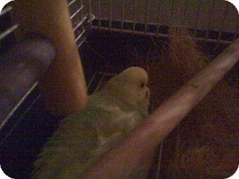 Parakeet - Other for adoption in Orlando, Florida - Gill