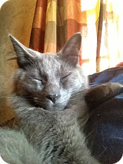 Domestic Mediumhair Cat for adoption in Wenatchee, Washington - Sterling