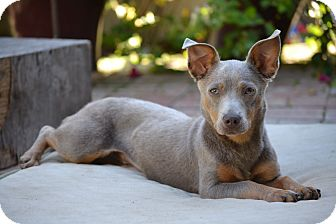 Chihuahua/Dachshund Mix Puppy for adoption in Bellflower, California - Haley