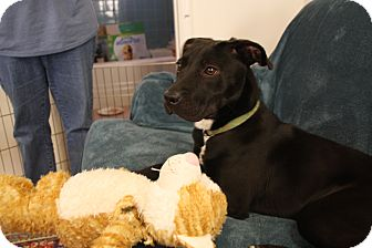 Labrador Retriever/American Pit Bull Terrier Mix Puppy for adoption in Marietta, Georgia - Starr