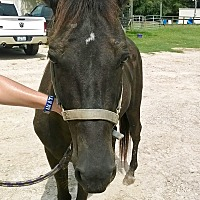 Tennessee Walking Horse Mix for adoption in Hitchcock, Texas - Lydia