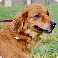 Adopt A Pet :: Dixie - New Canaan, CT