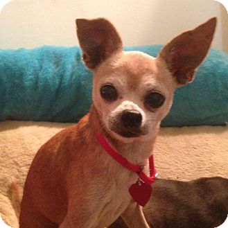 Chihuahua/Italian Greyhound Mix Dog for adoption in Los Angeles, California - MILLER