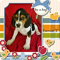 Adopt A Pet :: Earnest-pending adoption - Manchester, CT