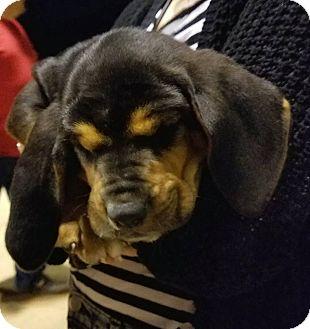 Bloodhound Mix Puppy for adoption in Fayetteville, Arkansas - Sallt