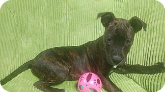Pit Bull Terrier Mix Puppy for adoption in Forest Hill, Maryland - Draco
