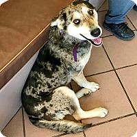 Adopt A Pet :: Ya Ya - Las Vegas, NV
