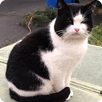 Domestic Shorthair Cat for adoption in Battle Ground, Washington - Patches