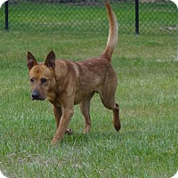 Shepherd (Unknown Type) Mix Dog for adoption in Henderson, North Carolina - Dino (HW Pos)**