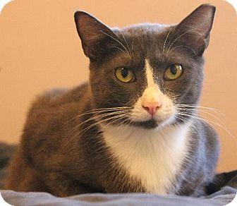 Domestic Shorthair Cat for adoption in Pensacola, Florida - Julie